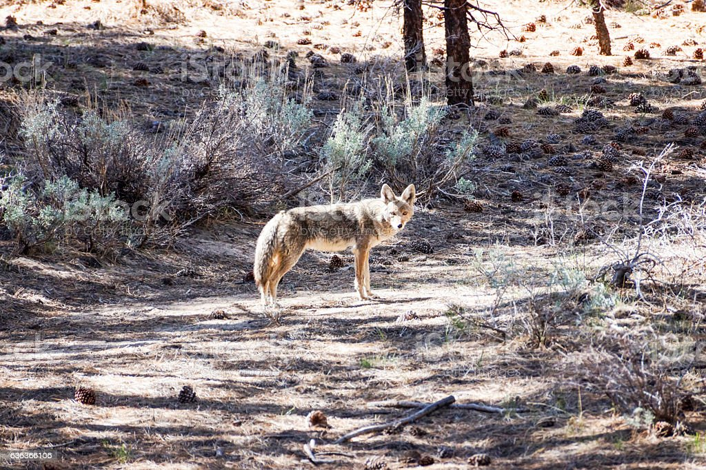 Coyote in the woods 2 stock photo