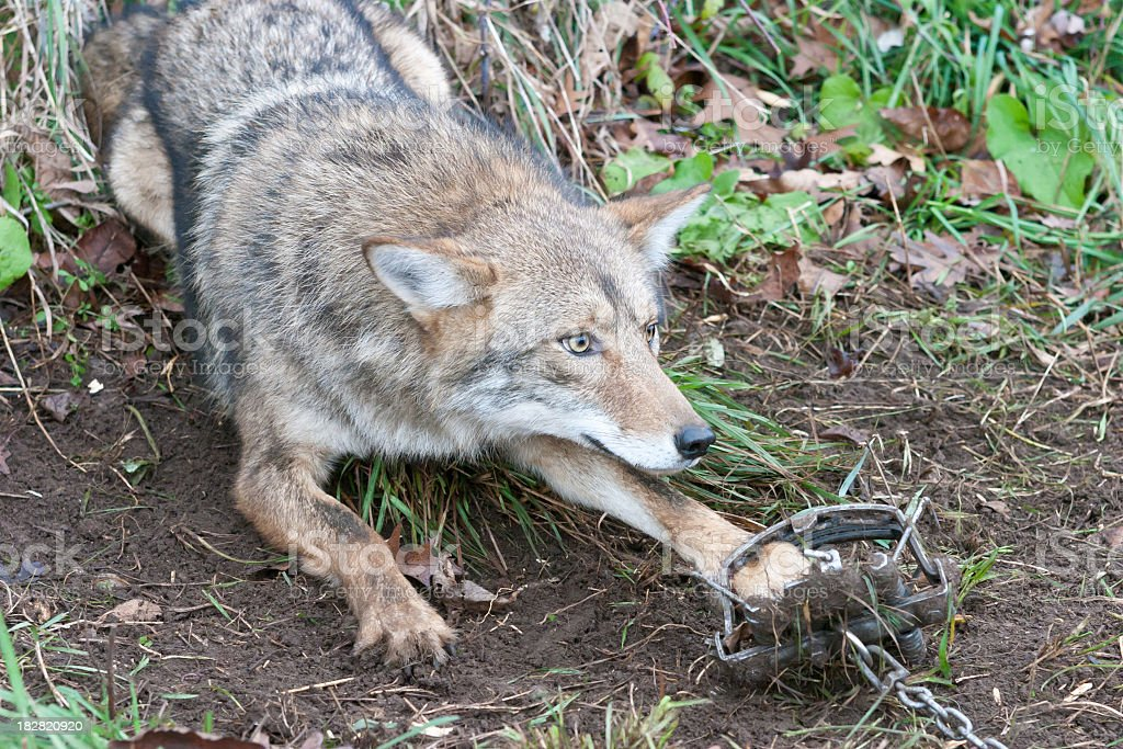 Coyote in trap stock photo