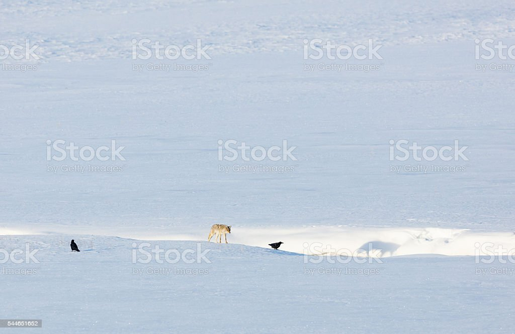 Coyote in Winter Landscape stock photo
