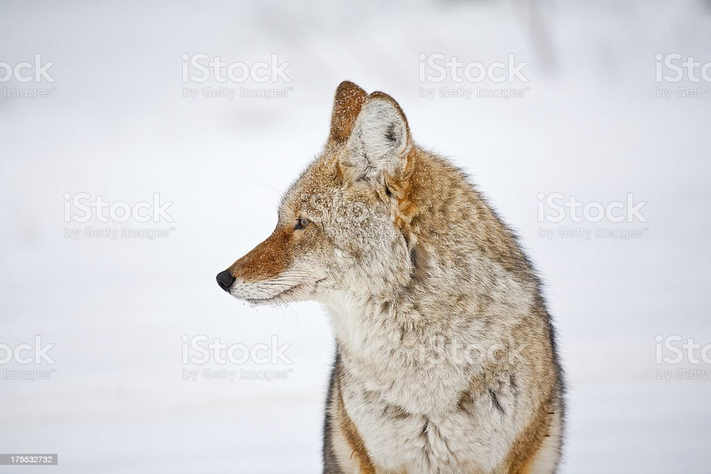 Coyote in winter royalty-free stock photo