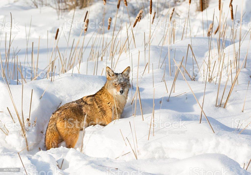 Coyote in Winter stock photo