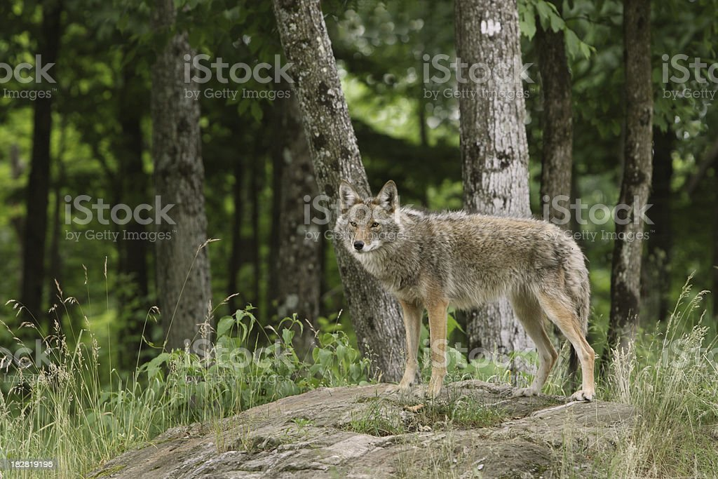 Coyote in Woods stock photo