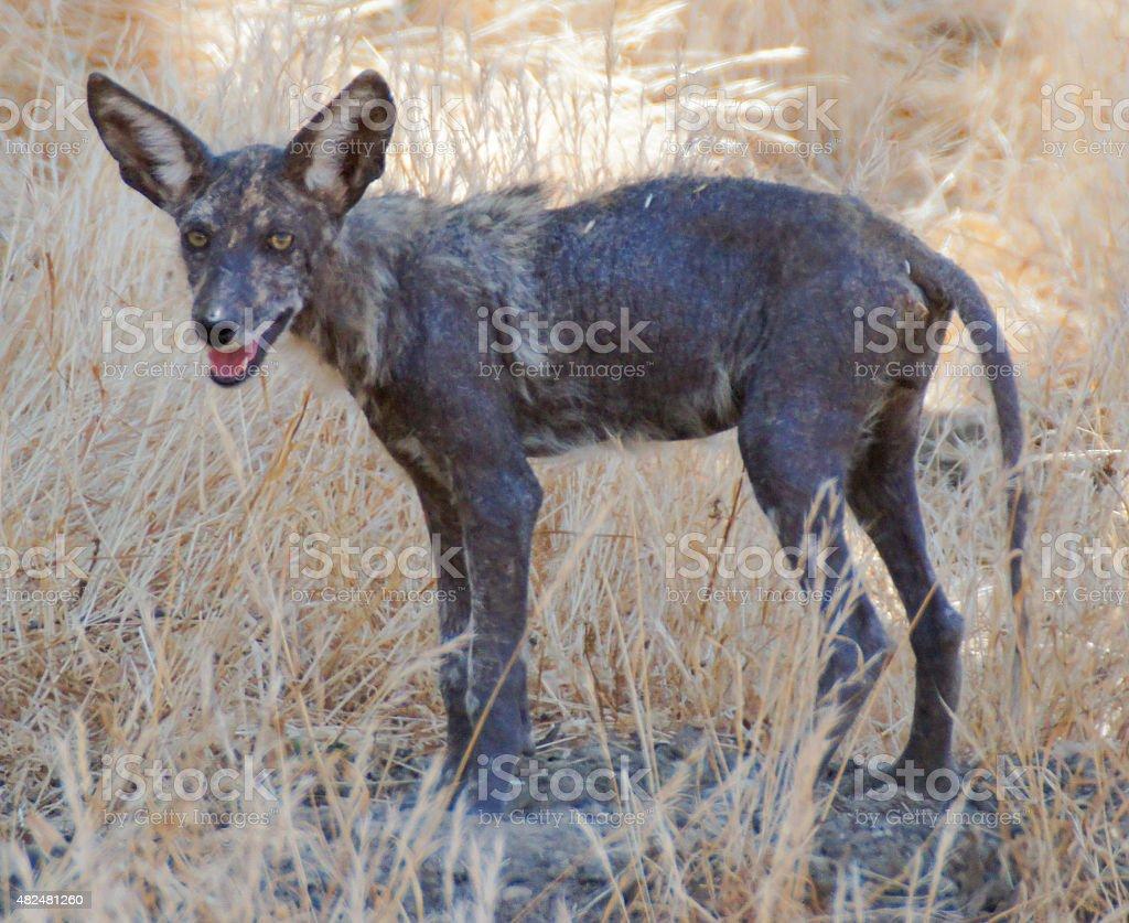 Coyote (Canis latrans), Juvenile stock photo