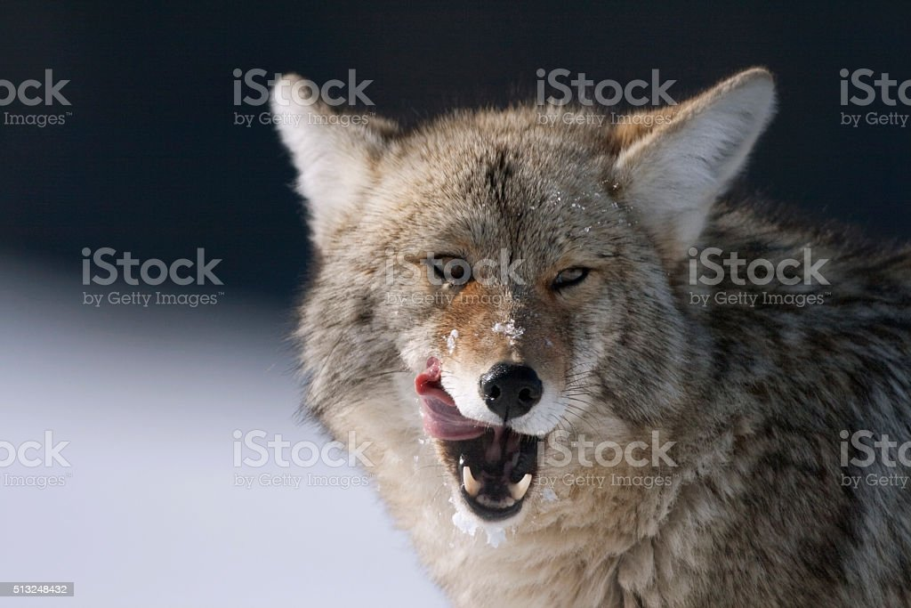 Coyote licks his mouth Yellowstone National Park Wyoming stock photo