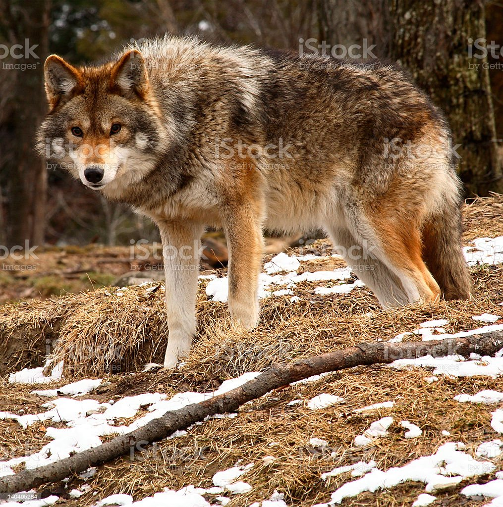 Coyote Looking at the Camera on a Spring Day stock photo