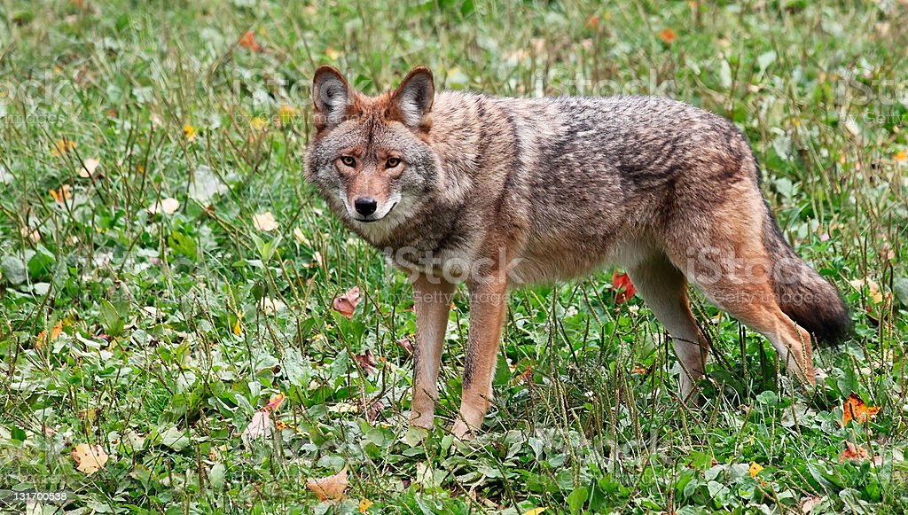 Coyote Looking at the Camera stock photo