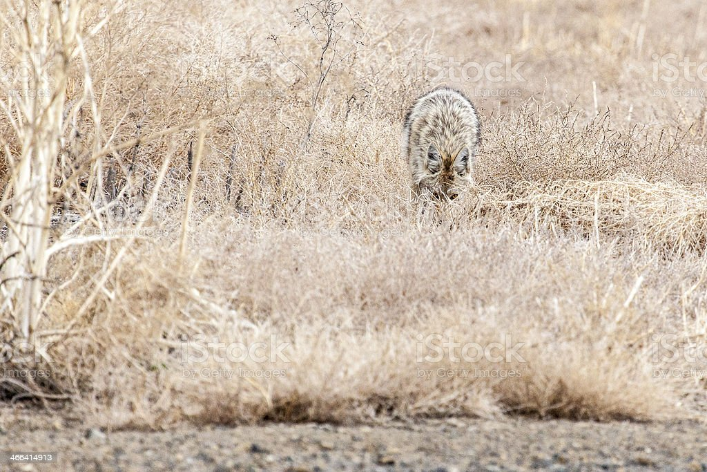 Coyote looking from behind some grass royalty-free stock photo
