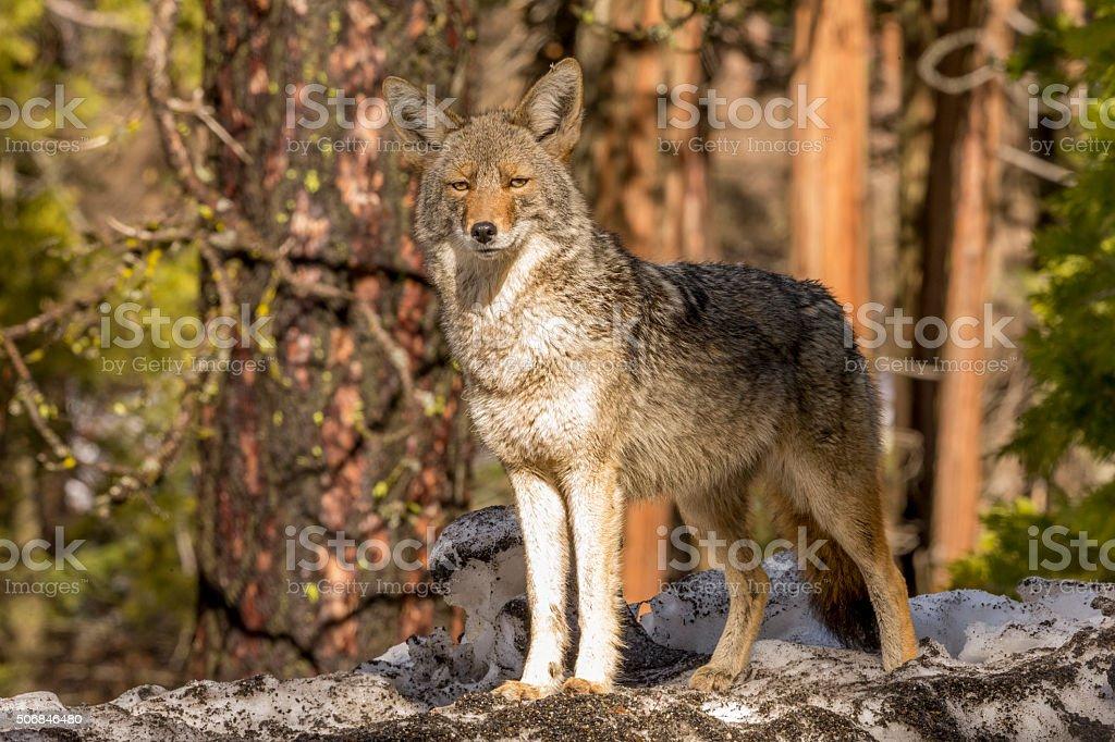 Coyote (Canis latrans) Looks forward in Yosemite, California stock photo