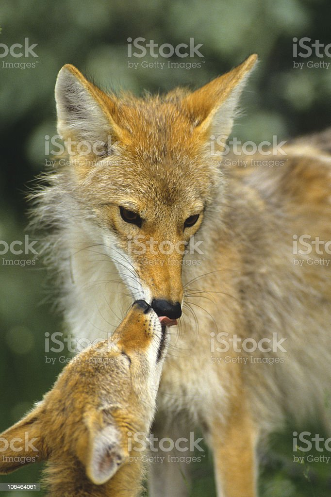 Coyote Mother and Pup Interacting stock photo