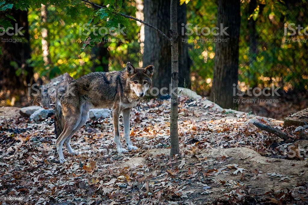 Coyote on  a Hill stock photo