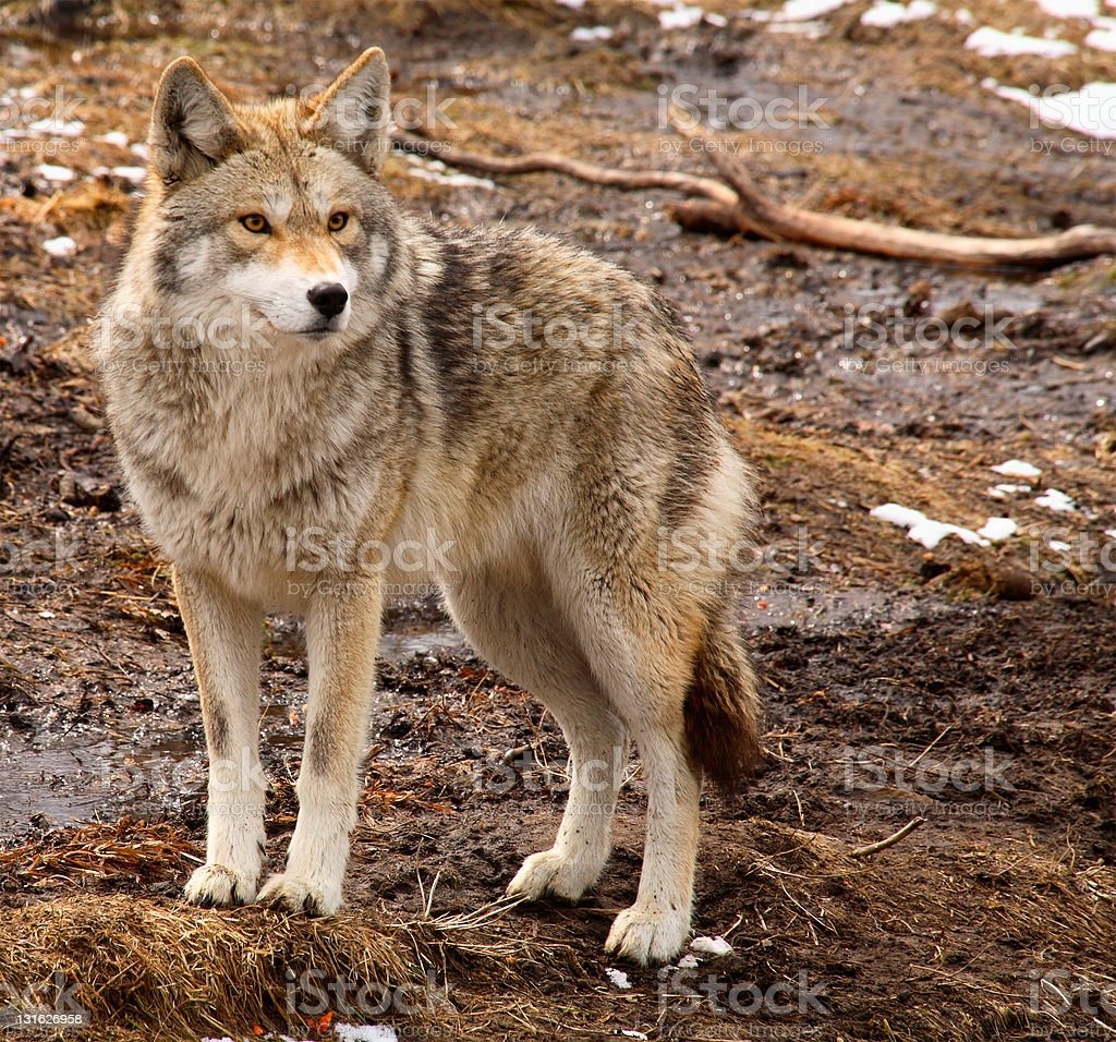 Coyote on a Spring Day stock photo