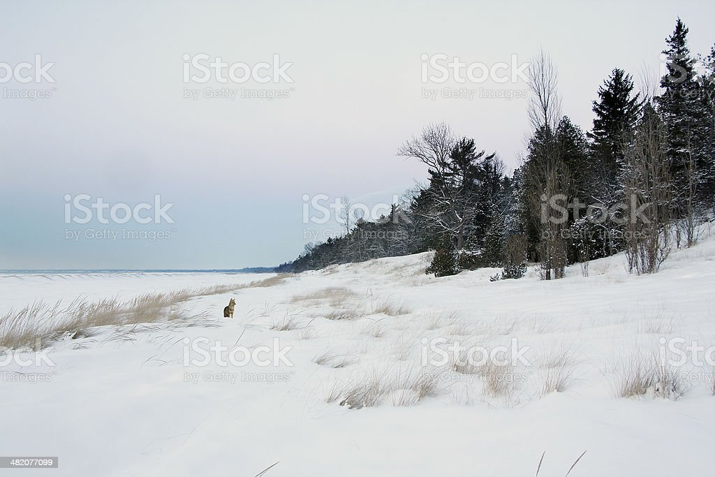Coyote on Snow Covered Beach royalty-free stock photo