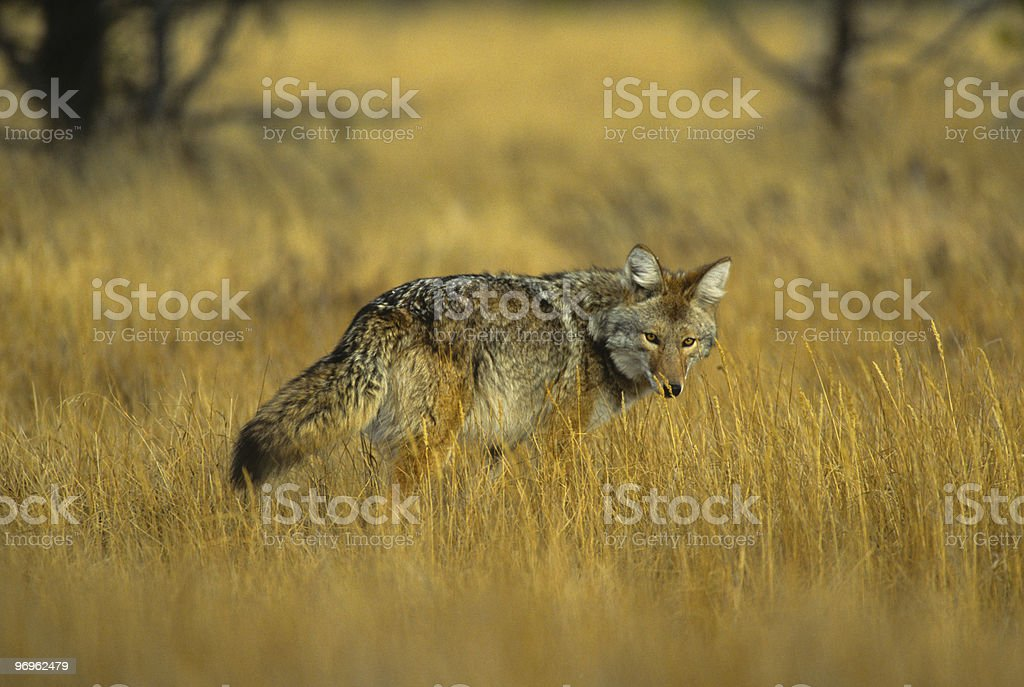 Coyote on the Hunt stock photo