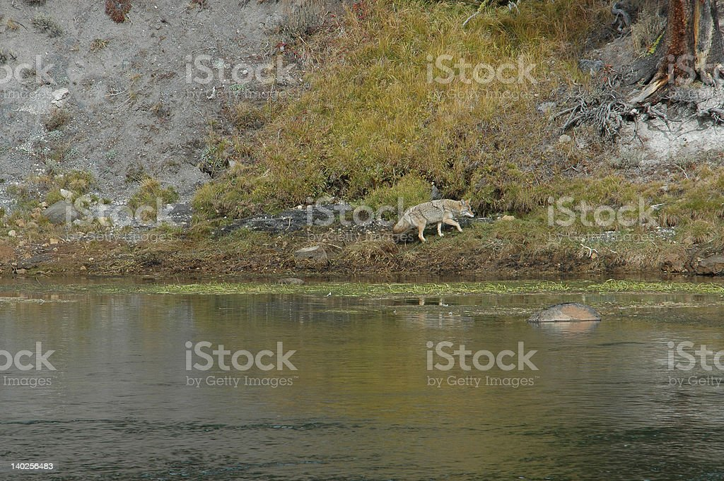 Coyote on the prowl for something to eat stock photo