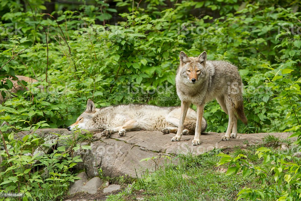 Coyote Pack stock photo