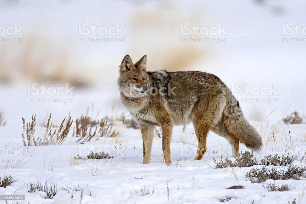Coyote (Yellowstone NP) royalty-free stock photo
