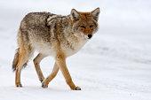 Coyote (Yellowstone NP)