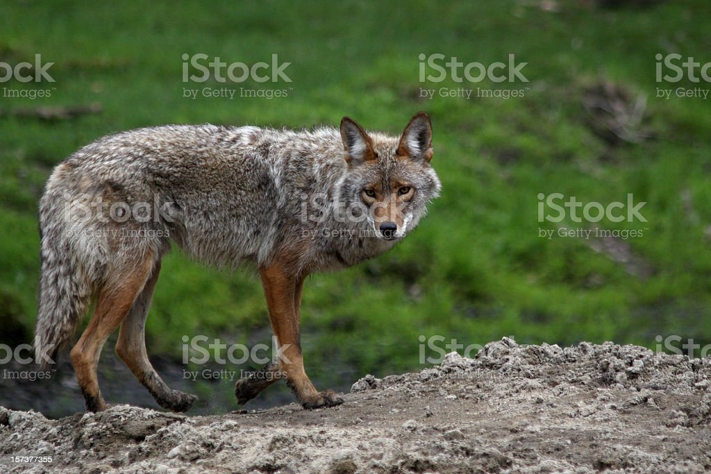 Coyote Posing in spring royalty-free stock photo