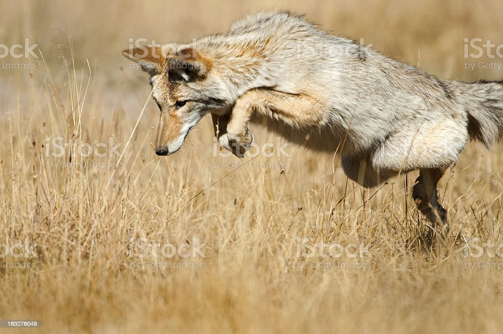 Coyote Pouncing / Mousing - Yellowstone NP stock photo