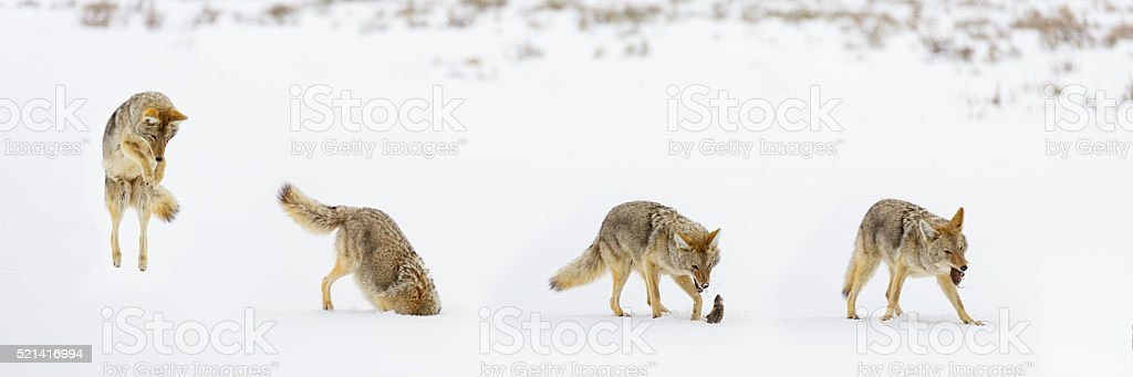 Coyote Pouncing Sequence stock photo