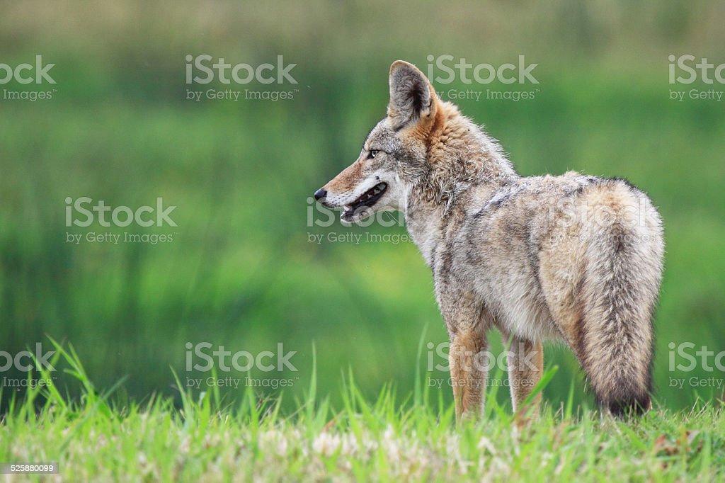 Coyote Profile stock photo