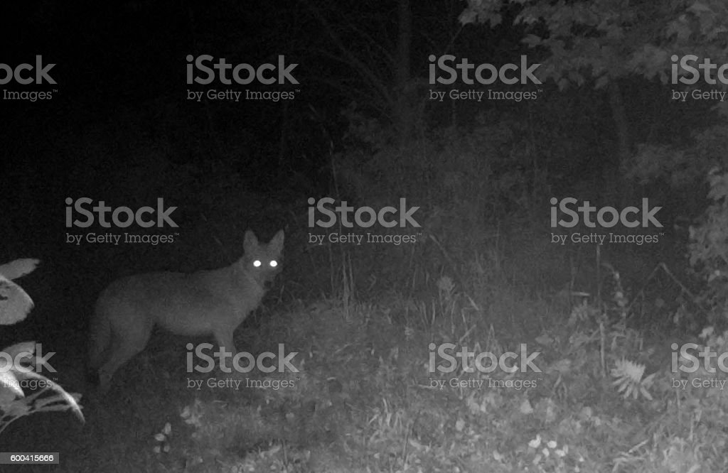Coyote Prowls at Night stock photo