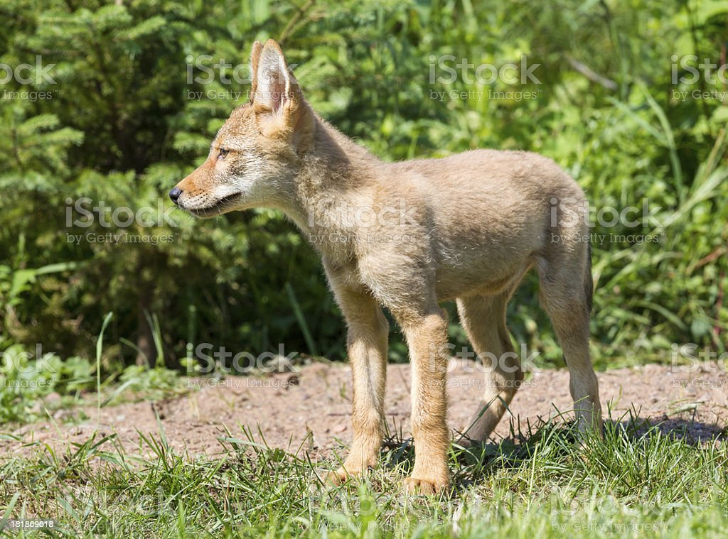 Coyote Pup royalty-free stock photo