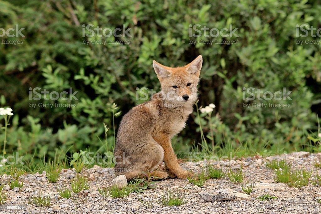 Coyote pup stock photo
