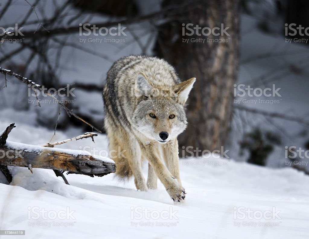 coyote running through the snow on a hunting mission stock photo