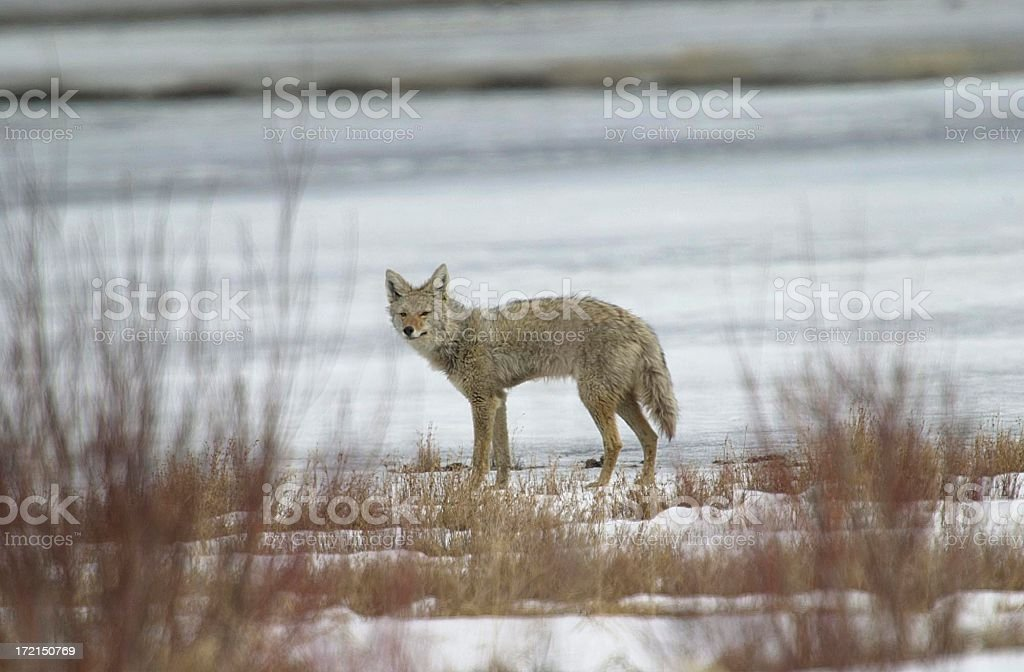 Coyote standing by a frozen lake royalty-free stock photo