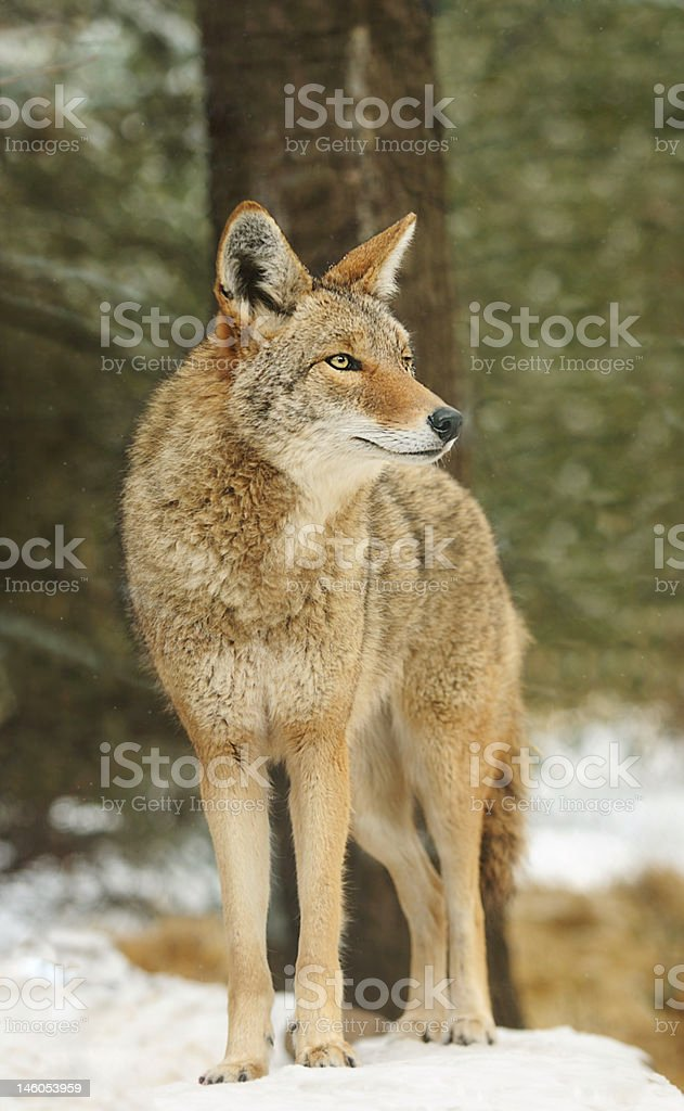 Coyote (Canis latrans) Stands in Snow Looking Right stock photo
