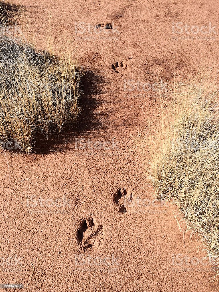Coyote Tracks stock photo