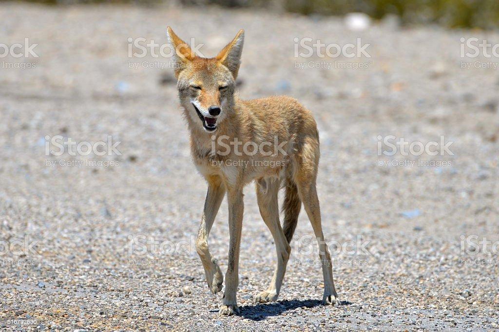 Coyote, vallée de la Mort, Californie stock photo