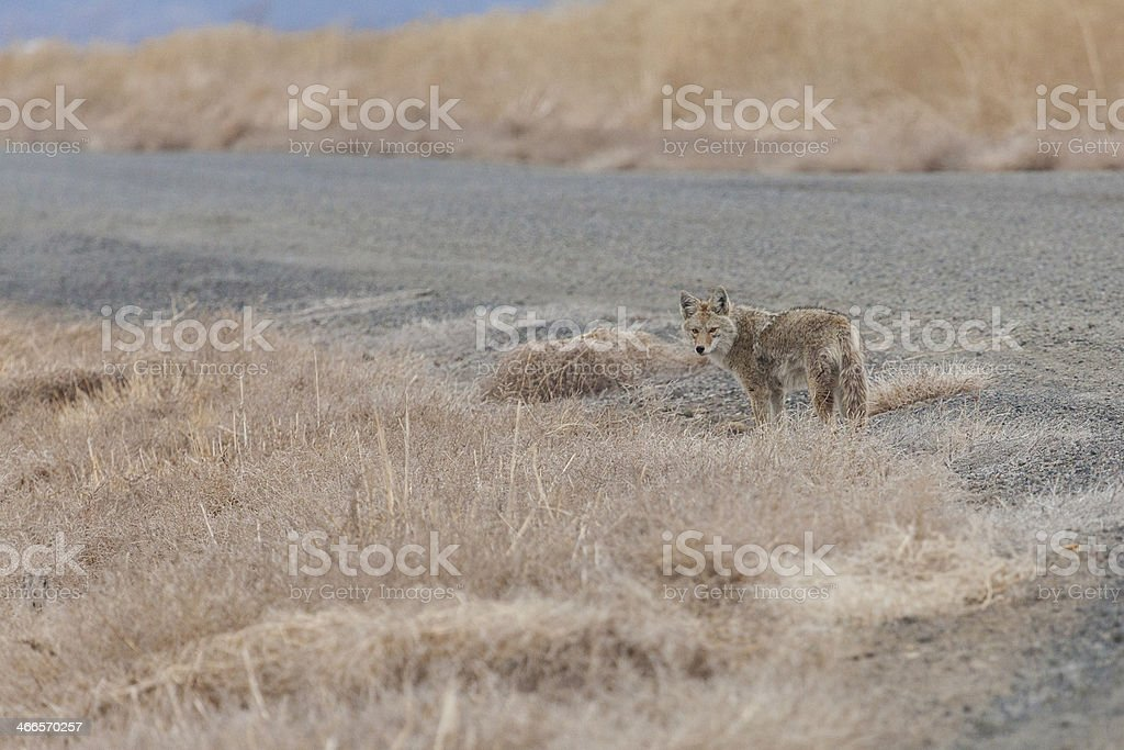Coyote walking away royalty-free stock photo
