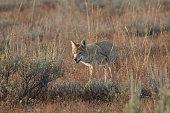 Coyote walking in grass