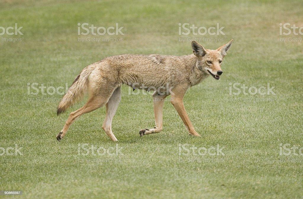 Coyote walking stock photo