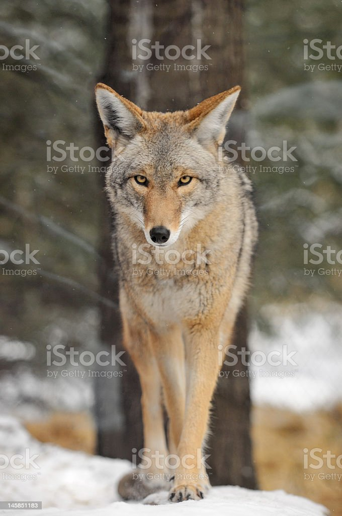 Coyote (Canis latrans) Walks in the Snow royalty-free stock photo