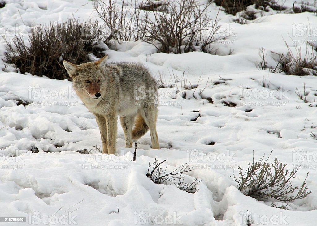 Coyote Watching stock photo
