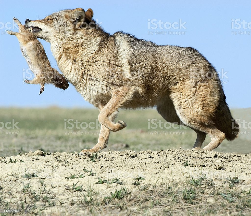 Coyote with prey royalty-free stock photo