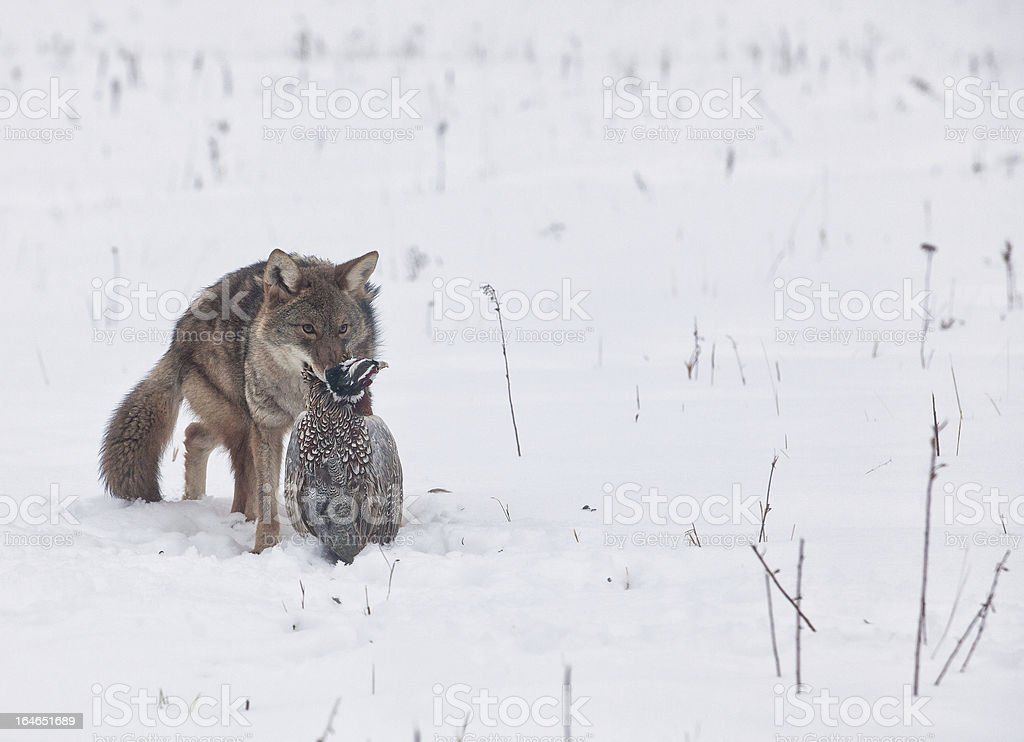 Coyote with ring necked pheasant royalty-free stock photo