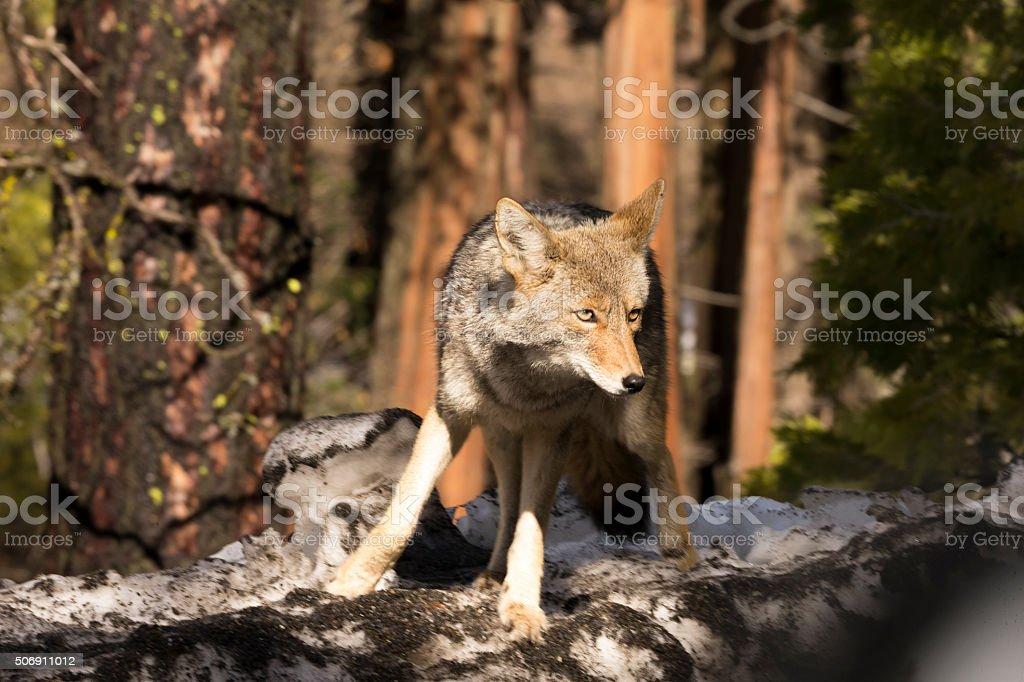 Coyote (Canis latrans) works in  Yosemite, California stock photo