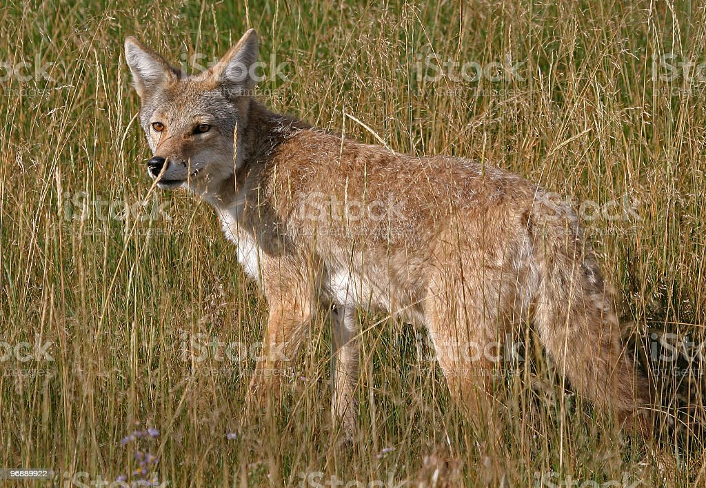 Coyote - Yellowstone National Park royalty-free stock photo