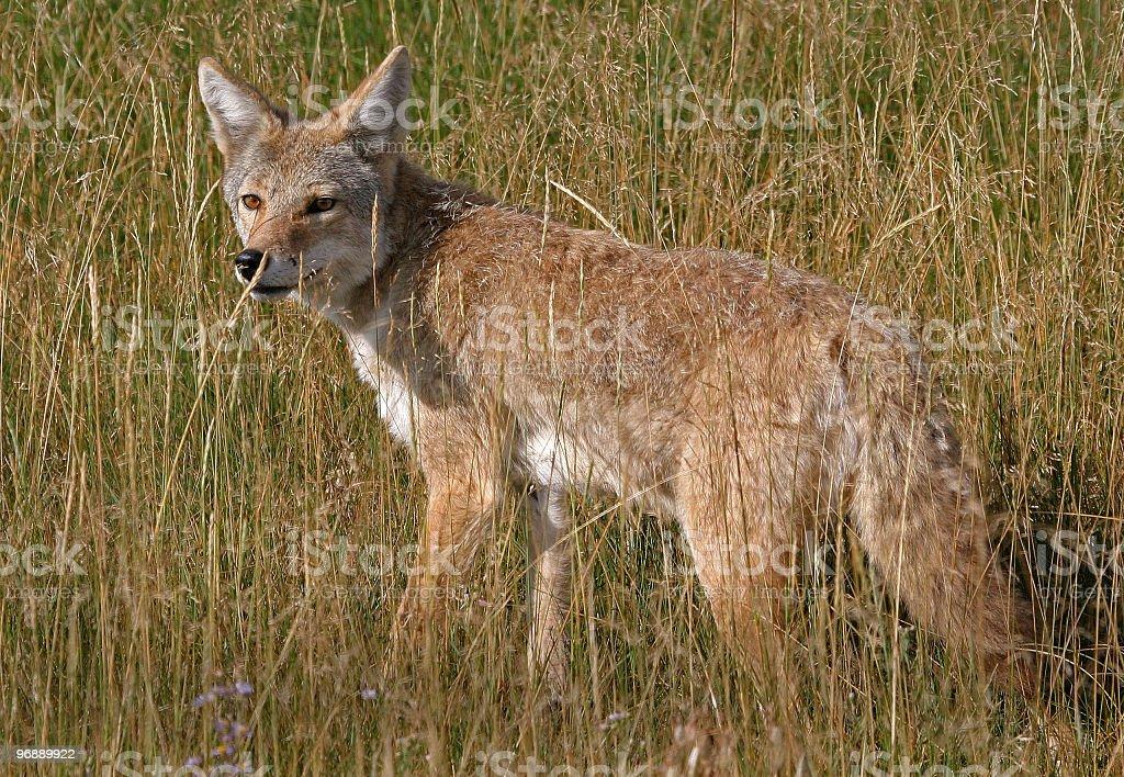 Coyote - Yellowstone National Park stock photo
