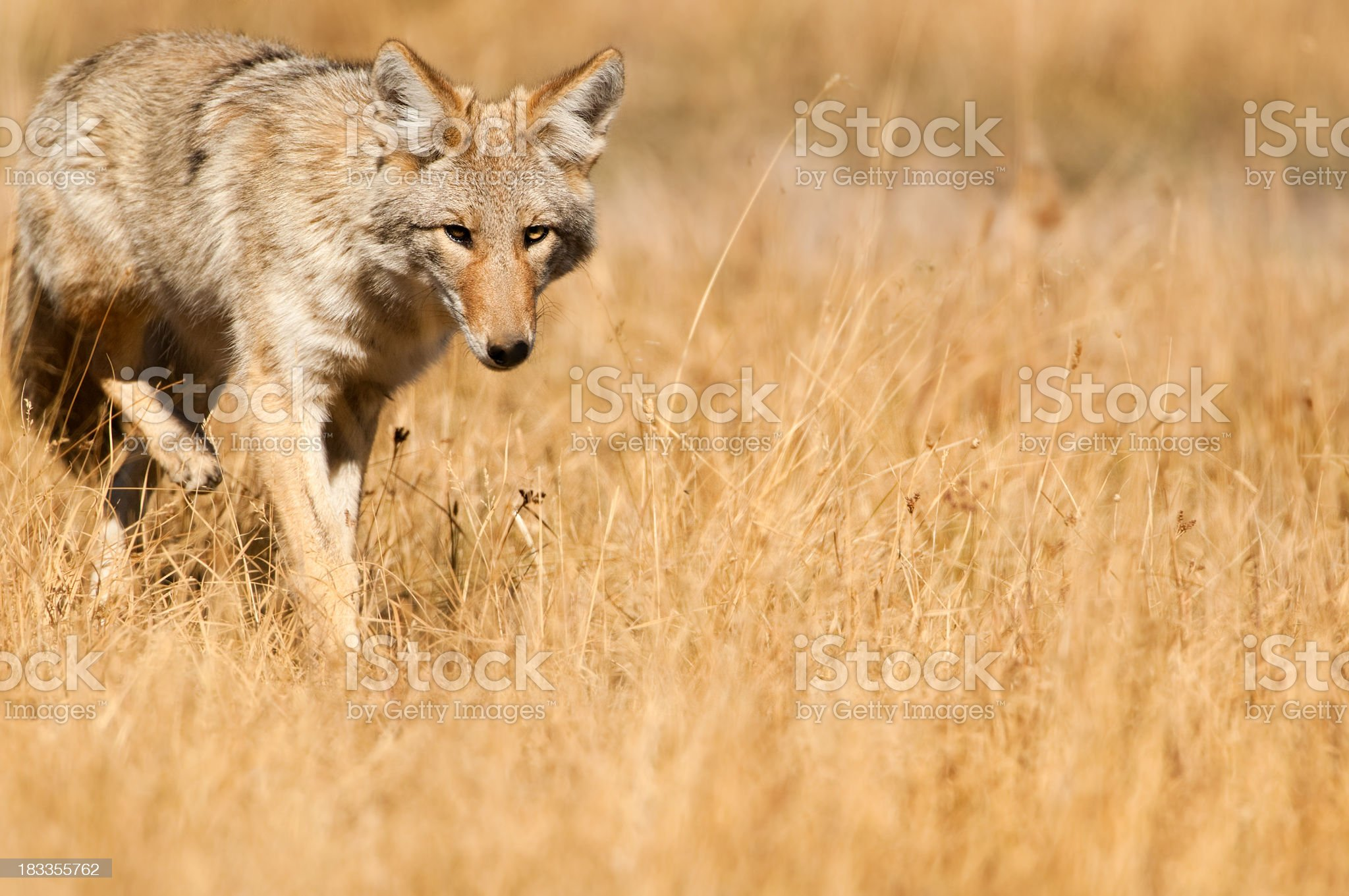 Coyote - Yellowstone NP royalty-free stock photo
