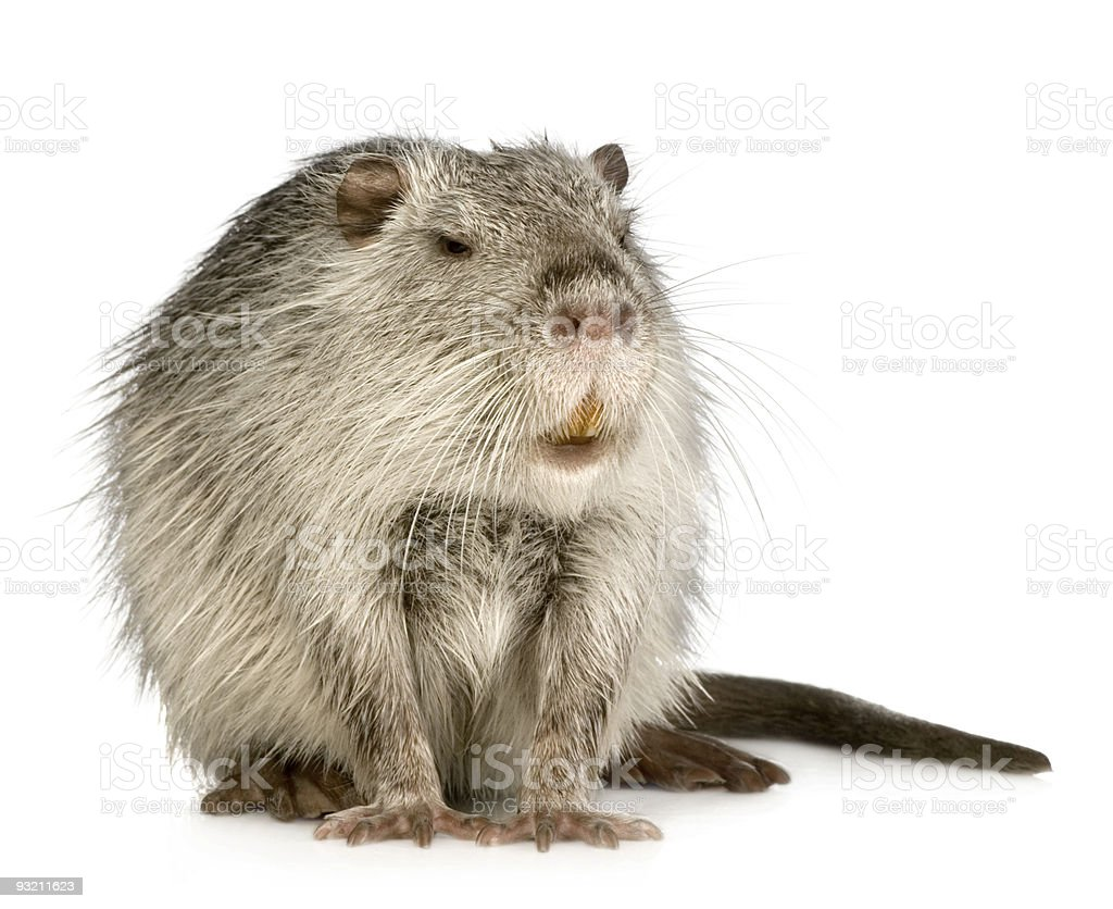 Coypu or Nutria (Myocastor coypus) stock photo