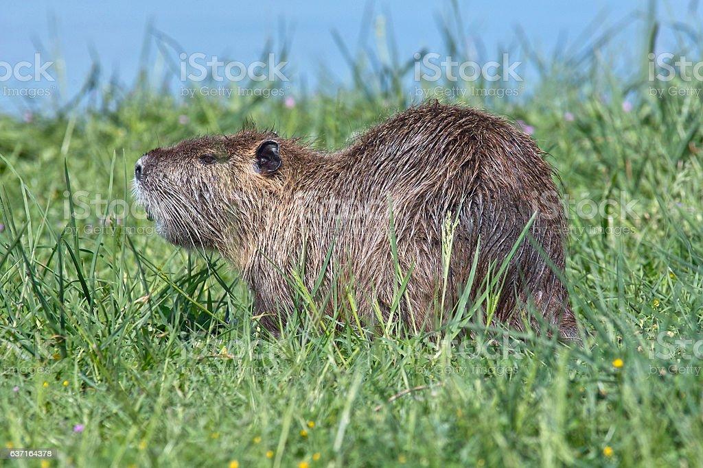 coypu,otter stock photo