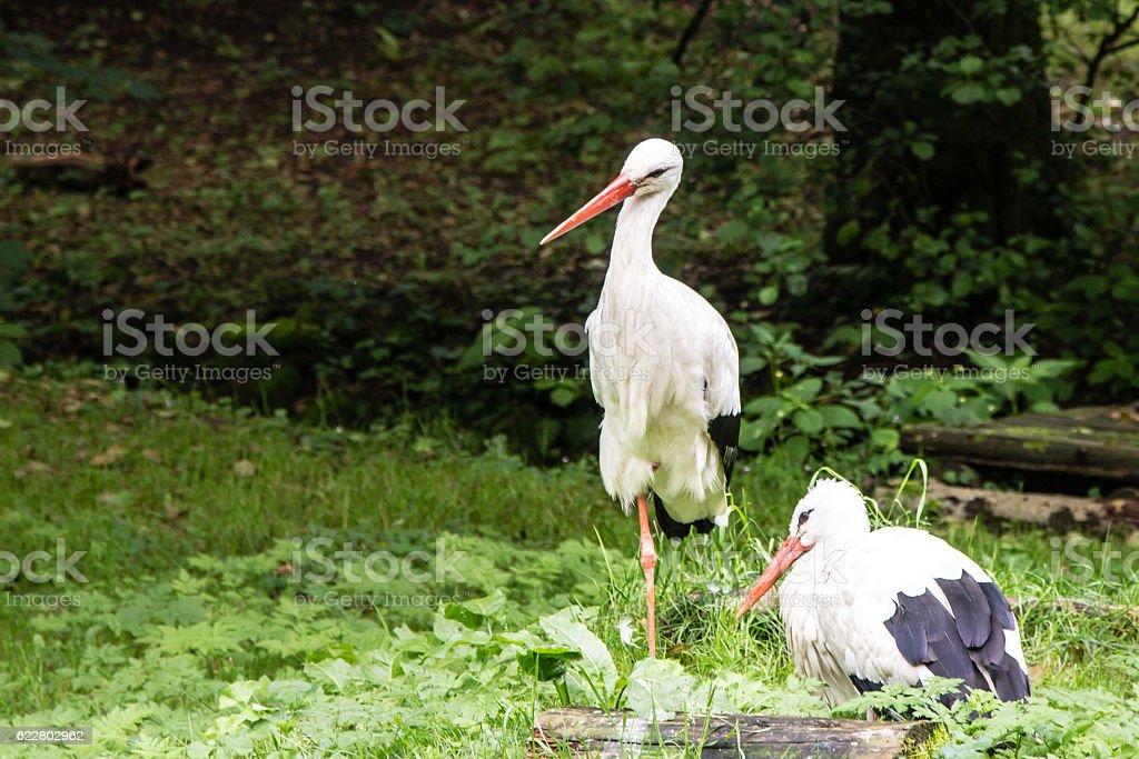 Cpuple of white storks stock photo