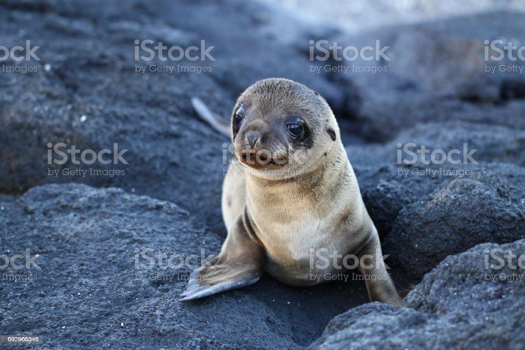 Cría de lobo marino de las galápagos stock photo