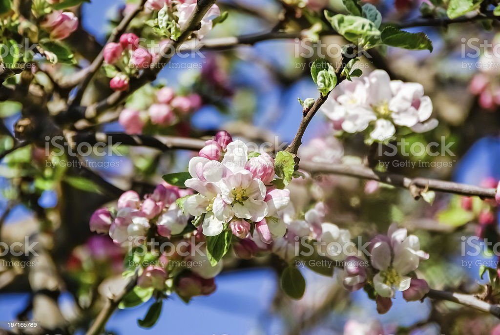 Crab apple blossom royalty-free stock photo