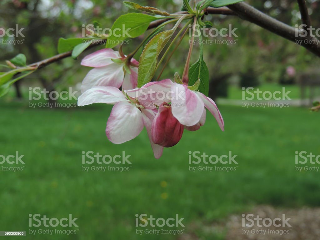 Crab apple Blossom stock photo